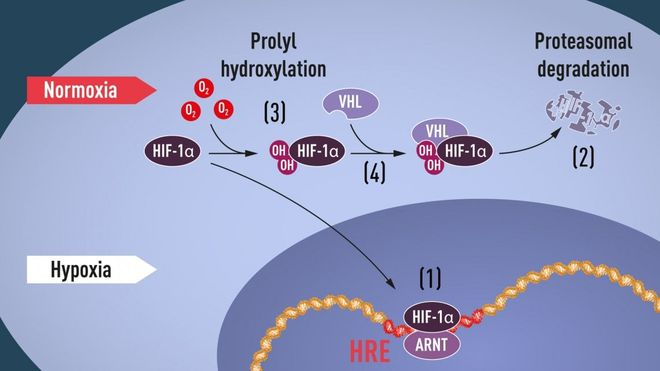 ipossia cellulare e HIF-1a