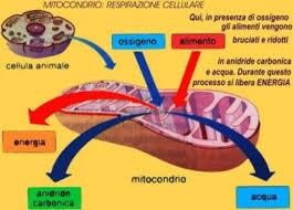 come respira un mitocondrio