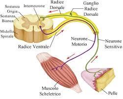 ganglio radice dorsale colonna vertebrale