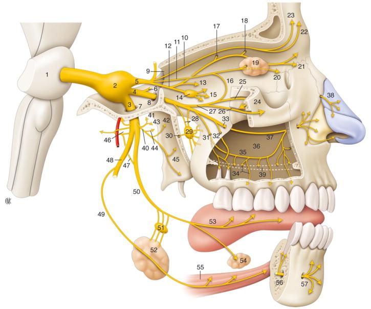 trigemino innervazioni d'interesse odontoiatrico